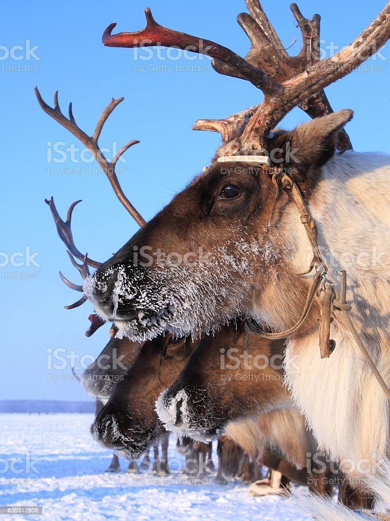 Reindeer closeup in sleigh on a winter's day stock photo