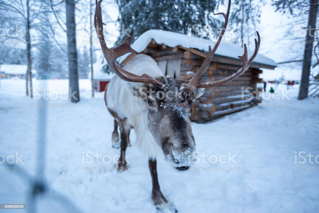 A reindeer covered in snow approaches the camera stock photo
