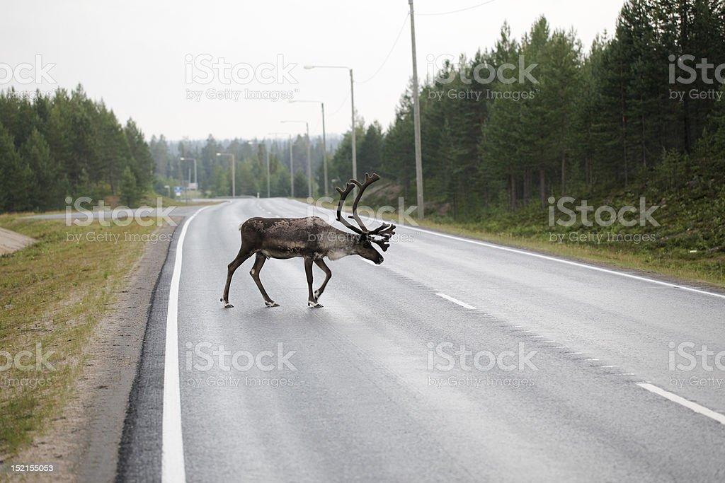 Reindeer Crossing Road royalty-free stock photo