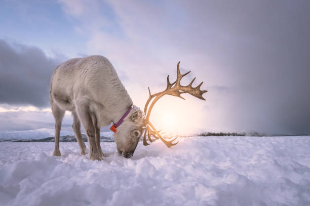 Reindeer digging in snow in search of food stock photo