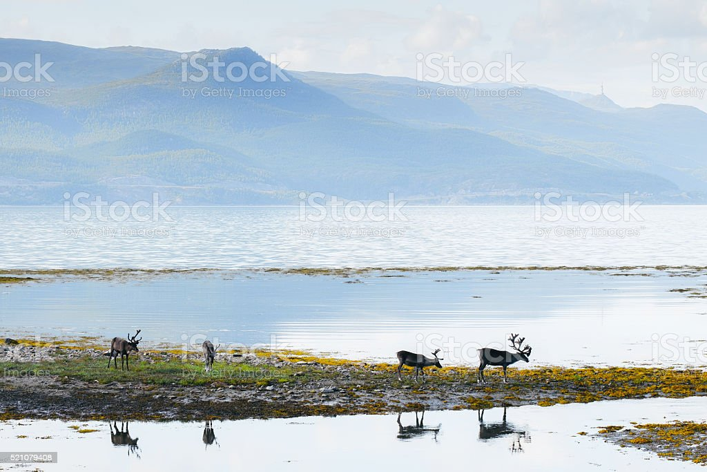 Reindeer eating grass, Norway stock photo