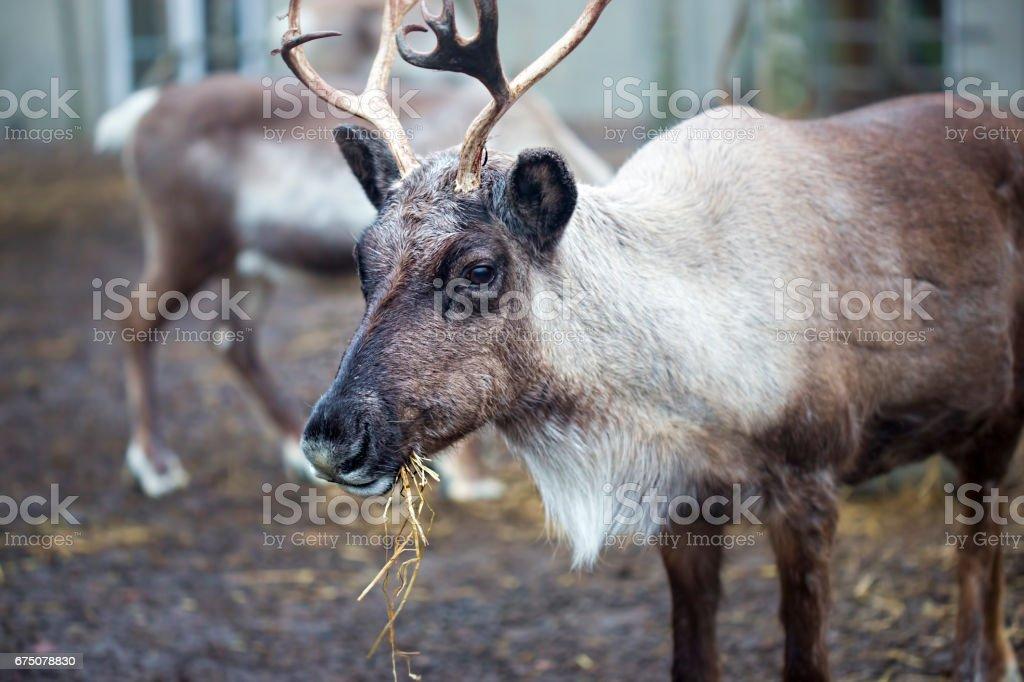 Reindeer eating stock photo