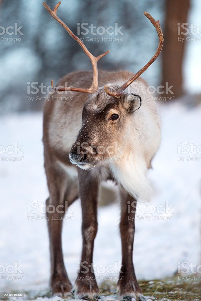 Reindeer eating the winter forest stock photo
