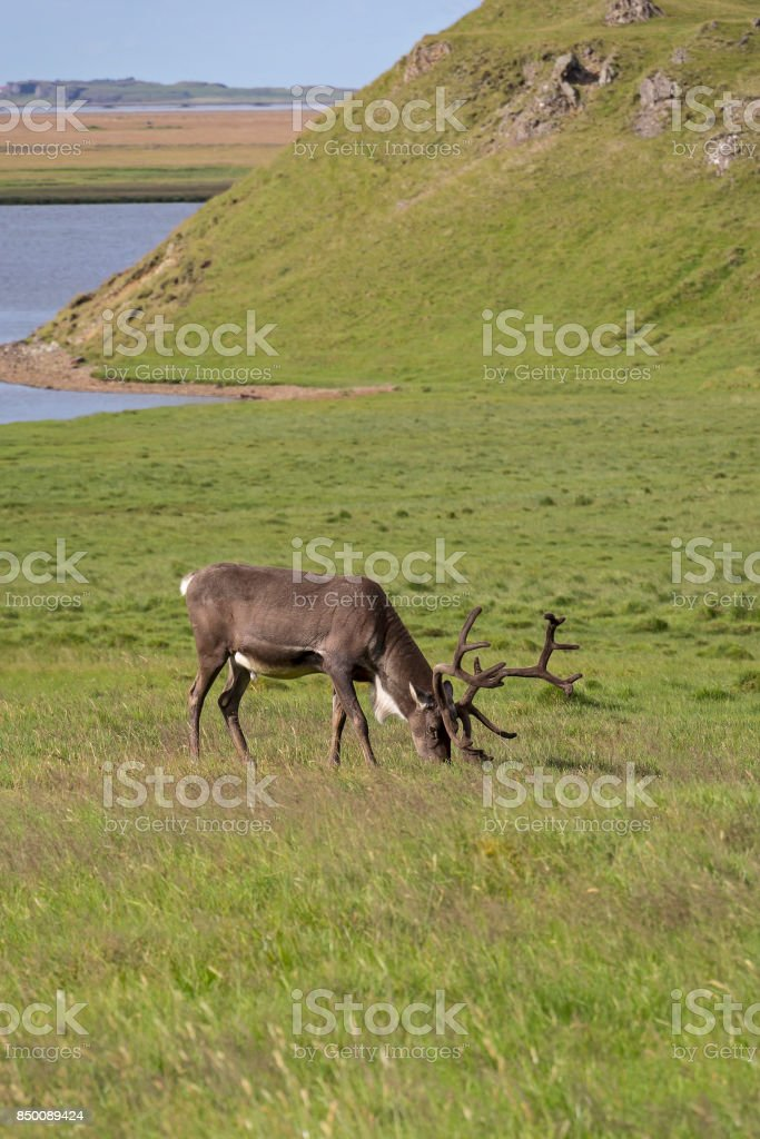 A reindeer grazing in a meadow in the south east of Iceland stock photo
