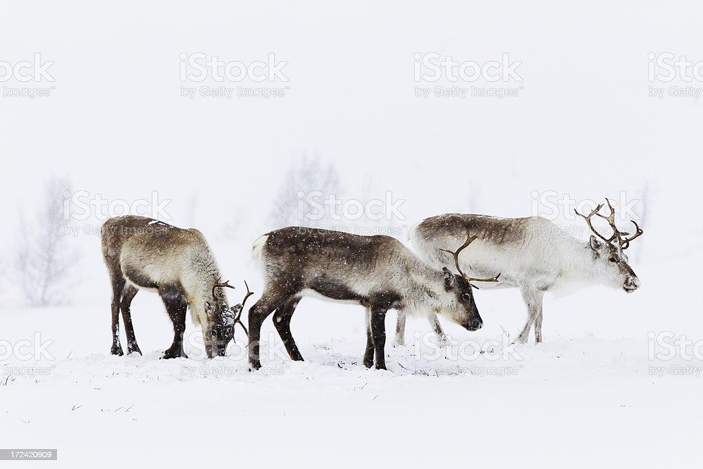 Reindeer Grazing in the Snow stock photo