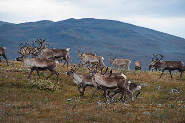 Reindeer herd in the mountain of Jotunheimen stock photo