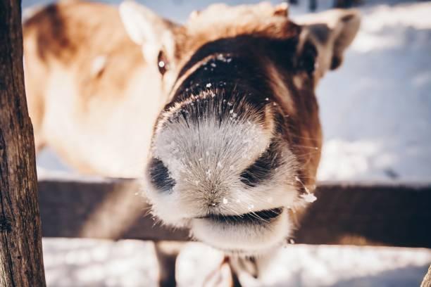 kışın fin lapland grubundaki ren geyiği - ren geyiği stok fotoğraflar ve resimler