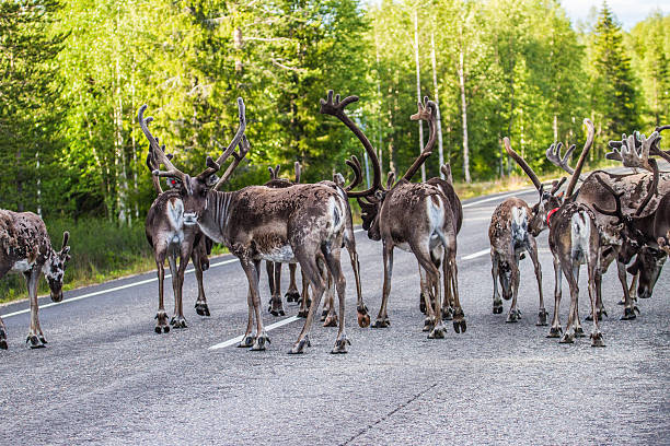 Reindeer in Lapland (FInland) stock photo