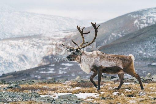 Reindeer in Mongolia in winter