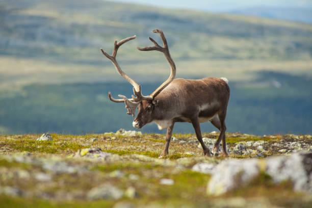 rentiere in norwegischen bergen - rentier stock-fotos und bilder