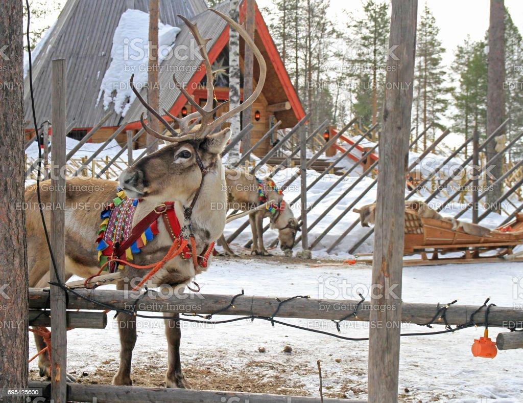 reindeer in Santa Claus village, Lapland stock photo