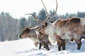 reindeer in nature during winter