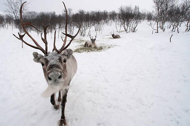 reindeer in snow stock photo