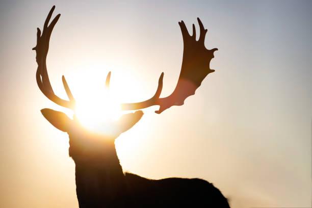 Reindeer in sunset. stock photo