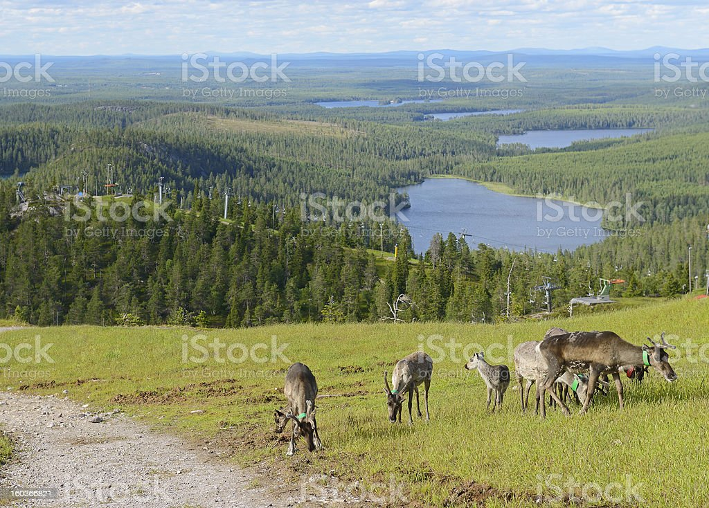 Reindeer in the mountains stock photo