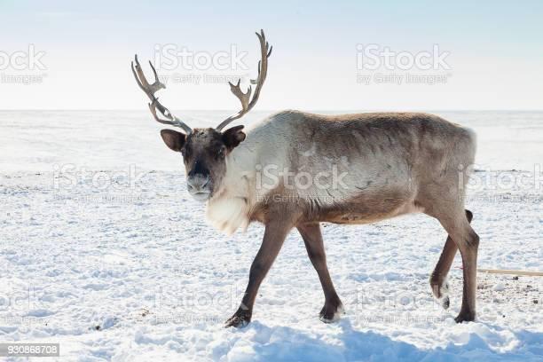 Reindeer in winter tundra picture id930868708?b=1&k=6&m=930868708&s=612x612&h=4vwnk6 z5ivsitf37vbuaulskcg6gvgpfua5fjdu7sq=