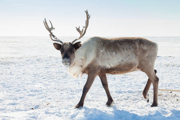 Reindeer in winter tundra stock photo