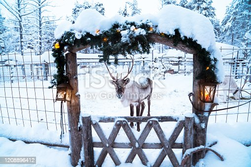 reindeer is ready for Christmas at Lapland / Finland