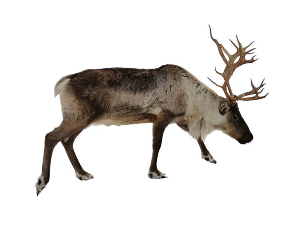 Reindeer isolated on white background. Element for design, collage and other works. stock photo