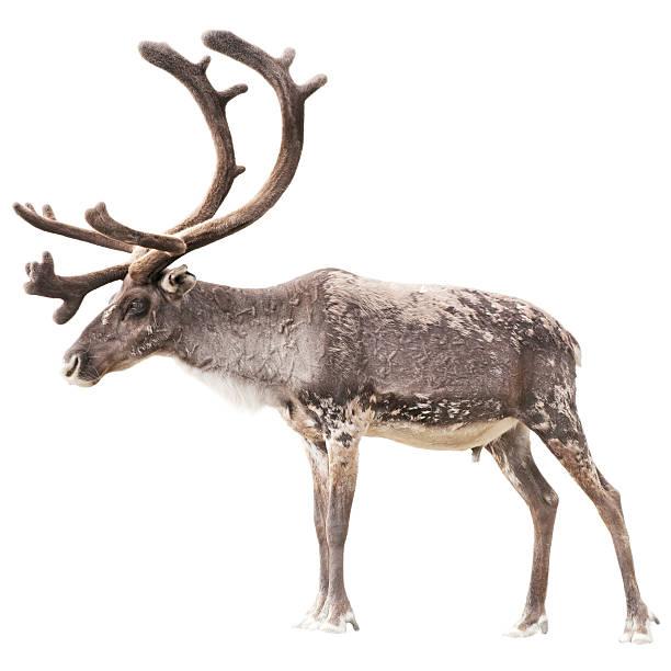 reindeer isolated on white background - rendier stockfoto's en -beelden