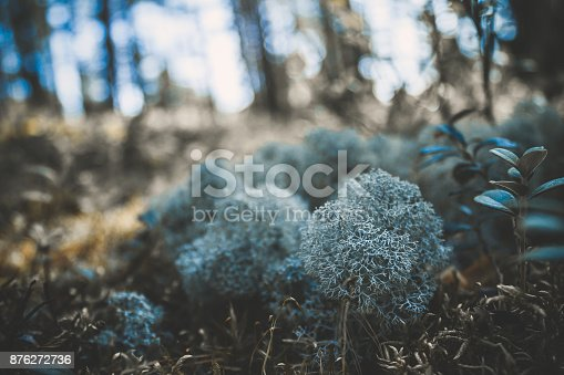 876018792 istock photo Reindeer lichen icelandic moss photographed in the forest strong increase background blur 876272736