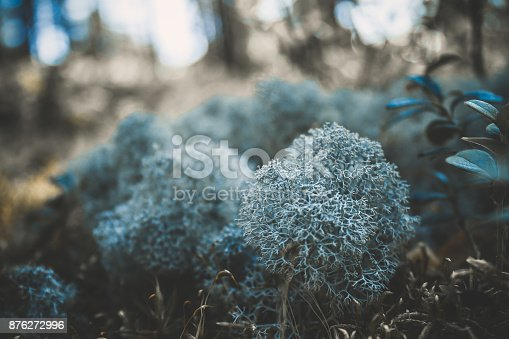 876018792 istock photo Reindeer lichen icelandic moss photographed in the forest strong increase background blur 876272996