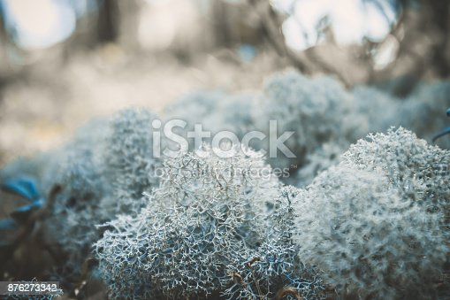 876018792 istock photo Reindeer lichen icelandic moss photographed in the forest strong increase background blur 876273342