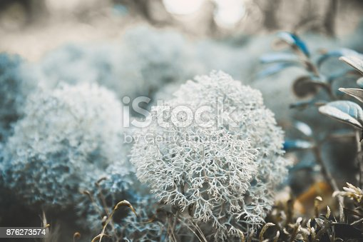 876018792 istock photo Reindeer lichen icelandic moss photographed in the forest strong increase background blur 876273574
