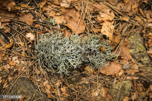 Reindeer Lichen on Forest Ground