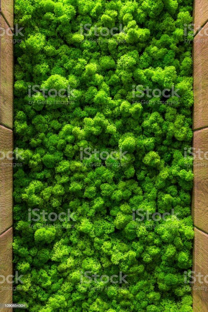 Reindeer moss wall, green wall decoration Cladonia rangiferina...