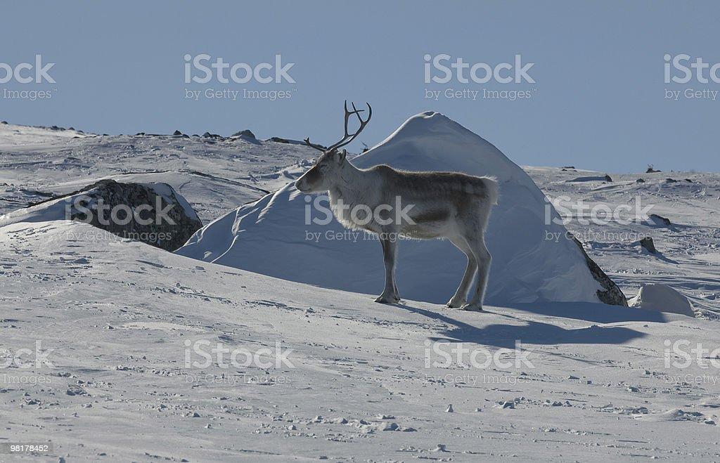 Reindeer, near Kilpisjärvi, Finland royalty-free stock photo