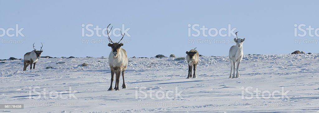 Reindeer, near Kilpisjärvi, Finland royalty-free stock photo