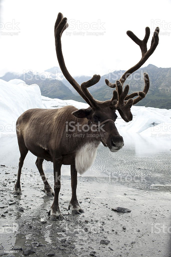 A reindeer next to some melting snow stock photo