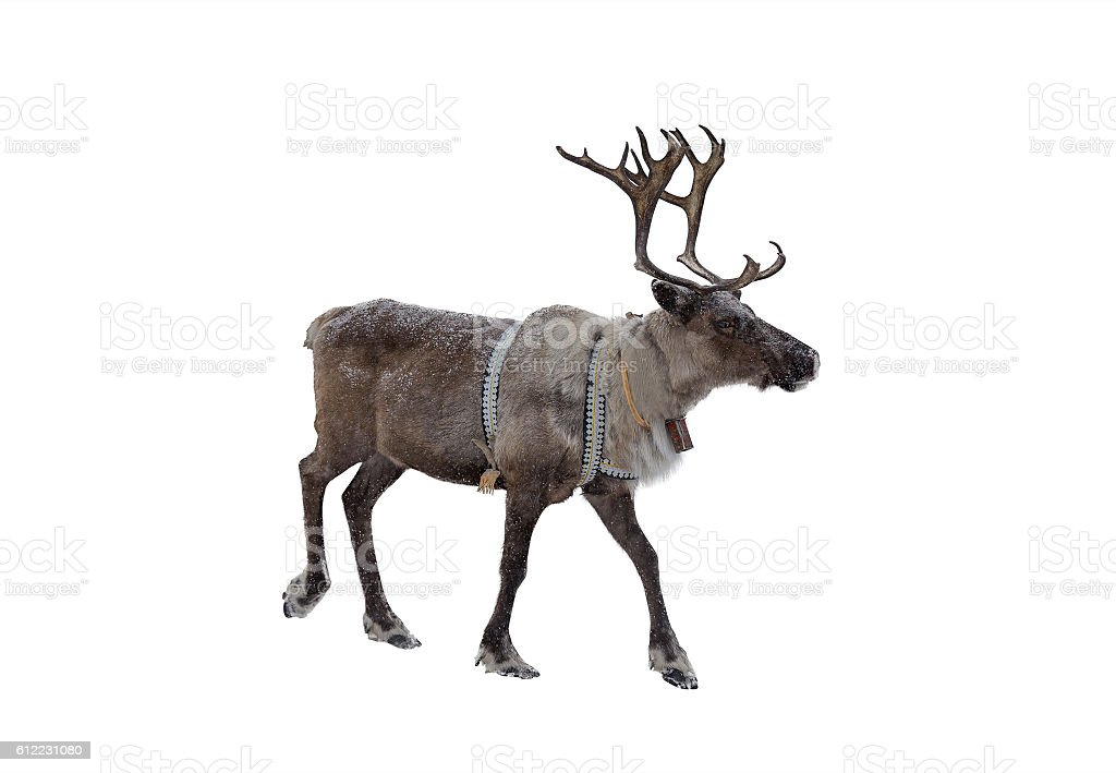 Reindeer on a white background stock photo