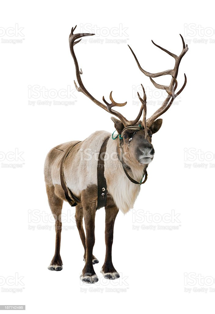 Rudolph Red Nosed Reindeer >> Royalty Free Reindeer Pictures, Images and Stock Photos - iStock