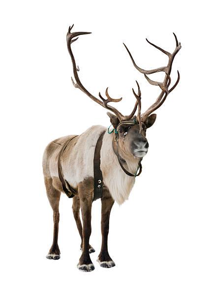 reindeer on white - rendier stockfoto's en -beelden