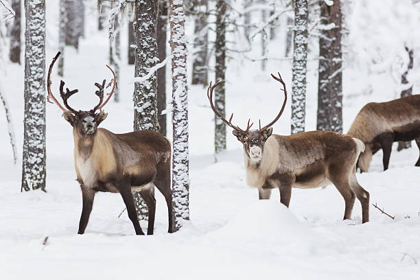 Reindeer stock photo