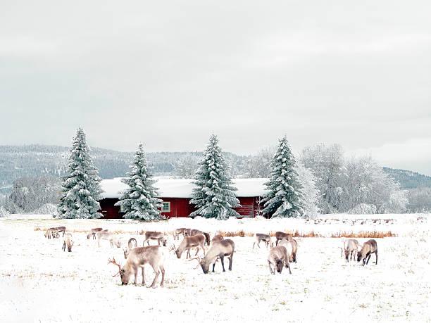 reindeer - norrbotten bildbanksfoton och bilder