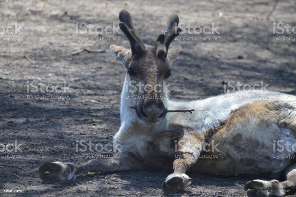 Reno - Foto de stock de Animal libre de derechos