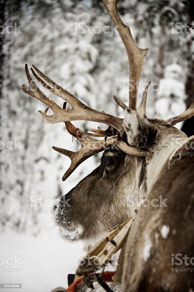 Reindeer royalty-free stock photo