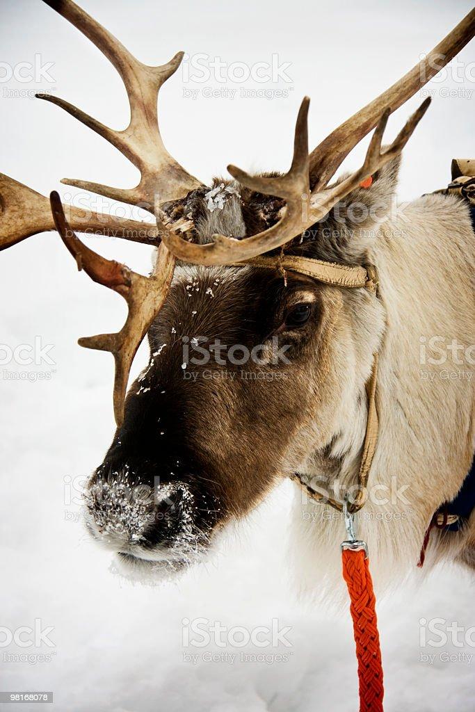 Reindeer Portrait royalty-free stock photo