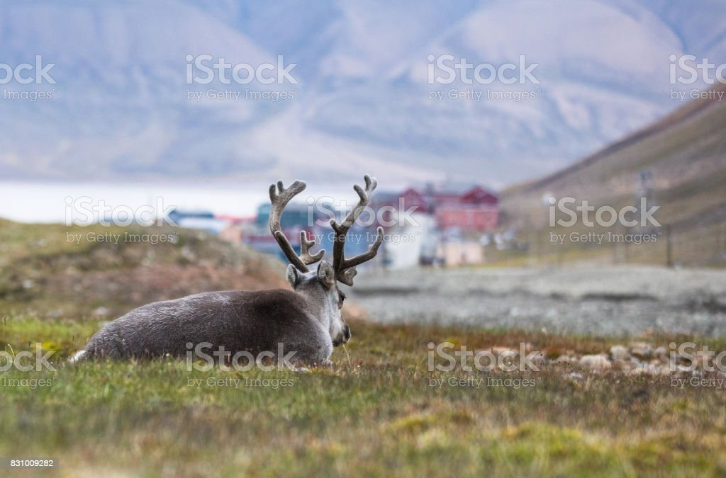 reindeer resting at night in front of Longyearbyen, Svalbard, Arctic stock photo