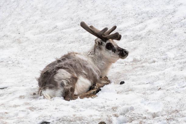 Rentier im Schnee, Svalbard-Inseln ruhen – Foto