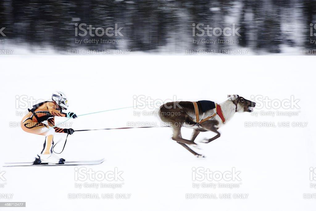 Reindeer Skiiing stock photo