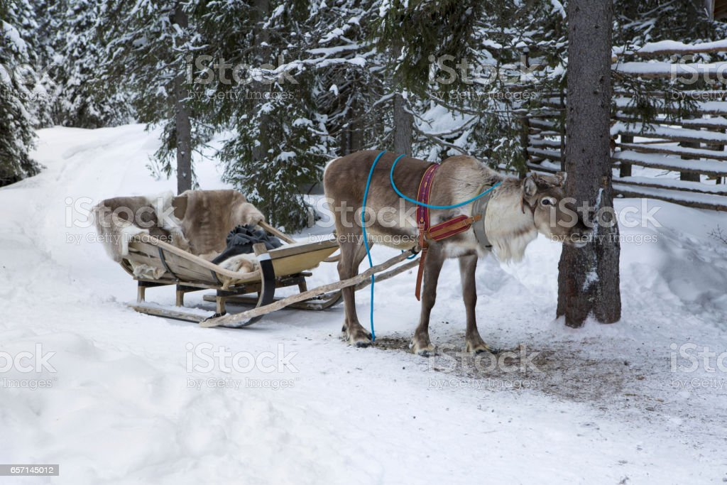 Reindeer sleight stock photo