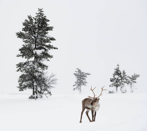 Reindeer standing in snow in winter landscape of Finnish Lapland, Finland stock photo