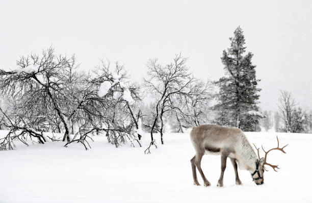 Reindeer standing in snow in winter landscape of Finnish Lapland, Finland stock photo