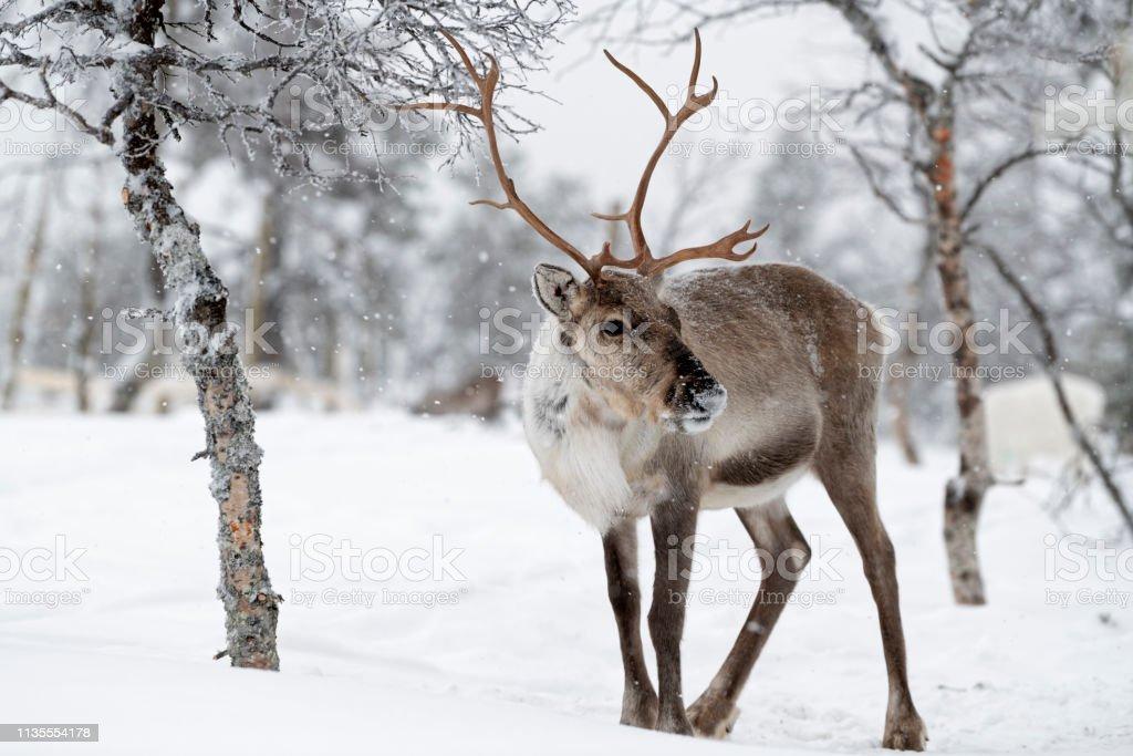 Reindeer Standing In Snow In Winter Landscape Of Finnish ...