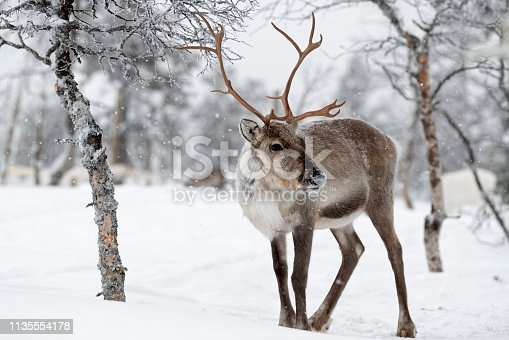 Reindeer standing in snow in winter landscape of Finnish Lapland, Finland