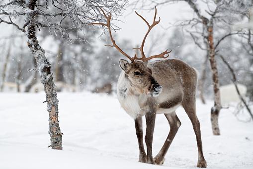 Reindeer standing in snow in winter landscape of Finnish Lapland, Finland